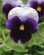 Spring Matrix Beaconsfield (Hybrid Pansy)