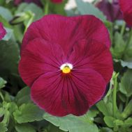 Spring Matrix Rose (Pansy)