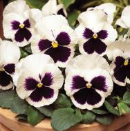 Spring Matrix White/Blotch (Pansy)