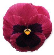 Spring Matrix Rose Blotch (Pansy)