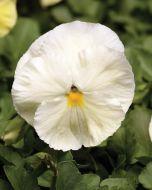 Spring Matrix Primrose (Pansy)