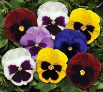 Spring Matrix Blotch Mix (Pansy)