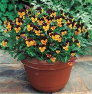 Penny™ Orange Jump Up (Viola)