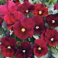 Penny™ Red Blotch (Viola)