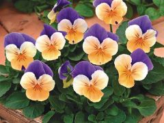 Penny™ Peach Jump Up (Viola)