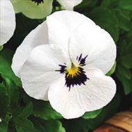 Penny™ White Blotch (Viola)