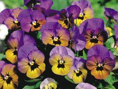 Penny™ Marlies (Viola)