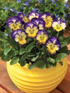 Penny™ Primrose Picotee (Viola)