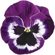 Delta™ Premium Violet & White (Pansy)