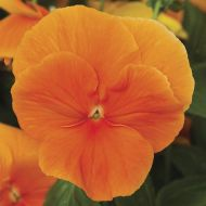 Delta™ Premium Pure Orange (Pansy)
