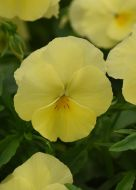 Cool Wave Lemon (Pansy/primed)