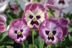 Wonderfall Rose Shades/Face (Pansy)