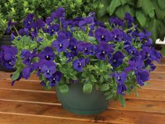 WonderFall™ Blue w/Blotch (Pansy)