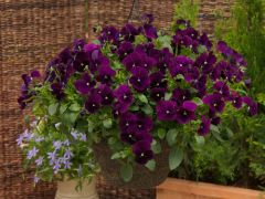 WonderFall™ Purple (Pansy/trailing)