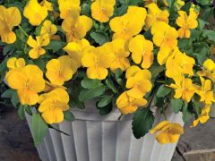 WonderFall™ Yellow (Pansy/trailing)