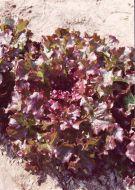 Red Salad Bowl (Lettuce/looseleaf)