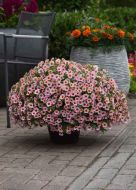 Kabloom Light Pink Blast (Calibrachoa Pellets)