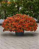 Kabloom Orange (Calibrachoa Pellets)