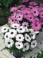 Asti™ White (Osteospermum)