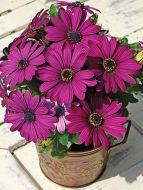 Asti™ Purple (Osteospermum)