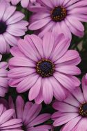 Akila Lavender Shades (Hybrid Osteospermum)