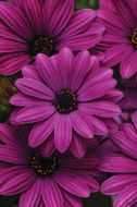 Akila Purple (Hybrid Osteospermum)