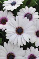 Akila White (Hybrid Osteospermum)