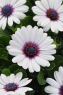 Akila White/Purple Eye (Hybrid Osteospermum)