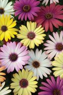 Grand Canyon Mix (Hybrid Osteospermum)
