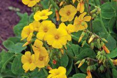 Oxalis Yellow (Valdiviensis)