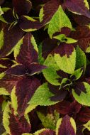 Premium Sun Pineapple Surprise (Coleus Pellets)