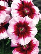 Venti Parfait Crimson Eye (Dianthus)