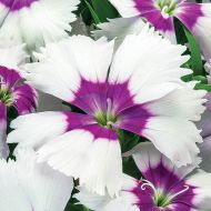 Venti Parfait™ Blueberry Eye (Dianthus)