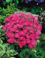 Supra Purple (Dianthus)