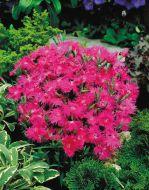 Supra Purple (Dianthus)