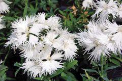 Supra White (Dianthus)