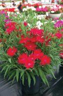 Supra Crimson (Dianthus)