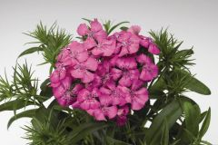 Diabunda Rose (Sweet William)