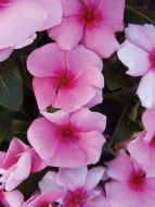Cora® Cascade™ Strawberry (Vinca)