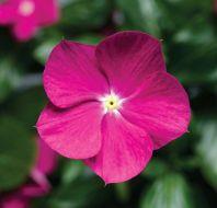 Cora® Cascade™ Violet (Vinca)