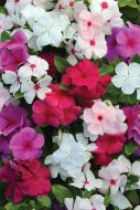 Valiant Mix (Vinca)
