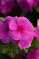 Valiant Lilac (Vinca)
