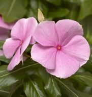 Cora® XDR Light Pink (Vinca)