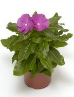 Cora® XDR Orchid (Vinca)