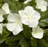 Cora® XDR White (Vinca)