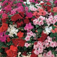 Accent Premium Mix (Impatiens)