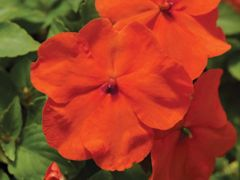 Accent Premium Deep Orange (Impatiens)