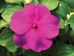 Accent Premium Lilac (Impatiens)