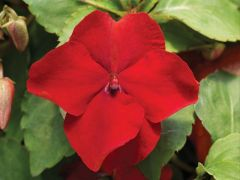 Accent Premium Red (Impatiens)