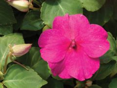 Accent Premium Rose (Impatiens)